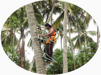 Tree climbing in Kerala India